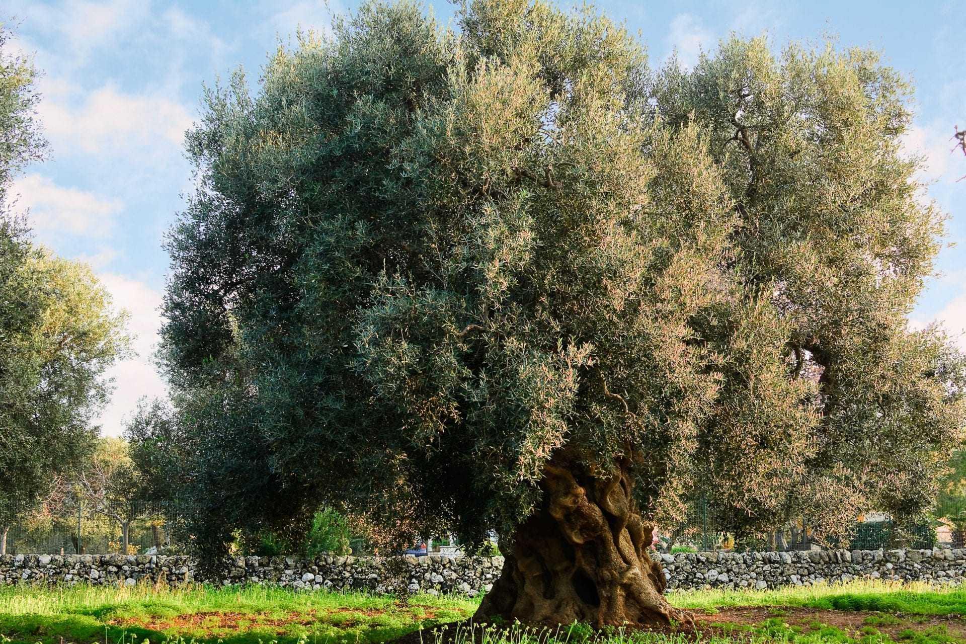 europe-briefs-latest-xylella-outbreak-in-puglia-continues-to-spread-olive-oil-times