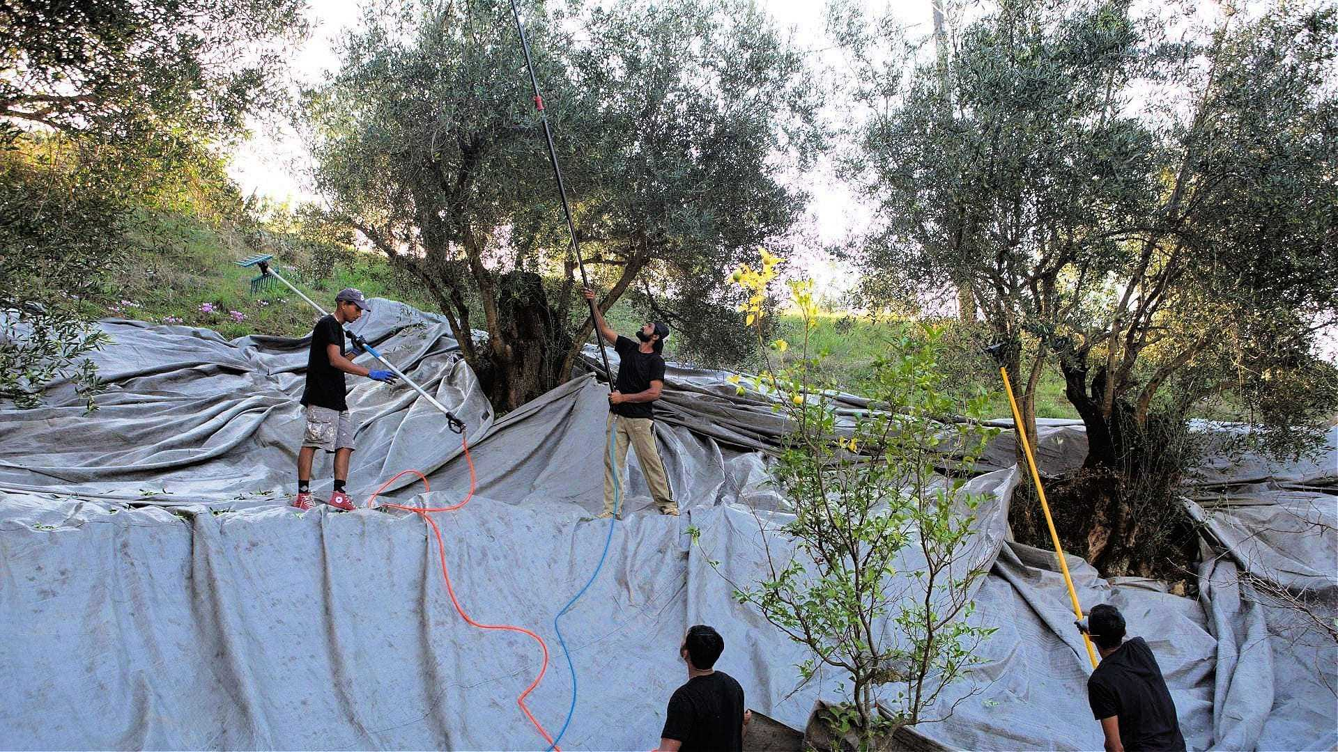 forging-a-future-for-olive-oil-production-on-corfu-olive-oil-times